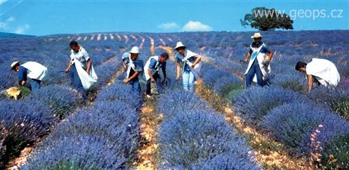 Poznávací zájezd francie provence sběr květů levandule